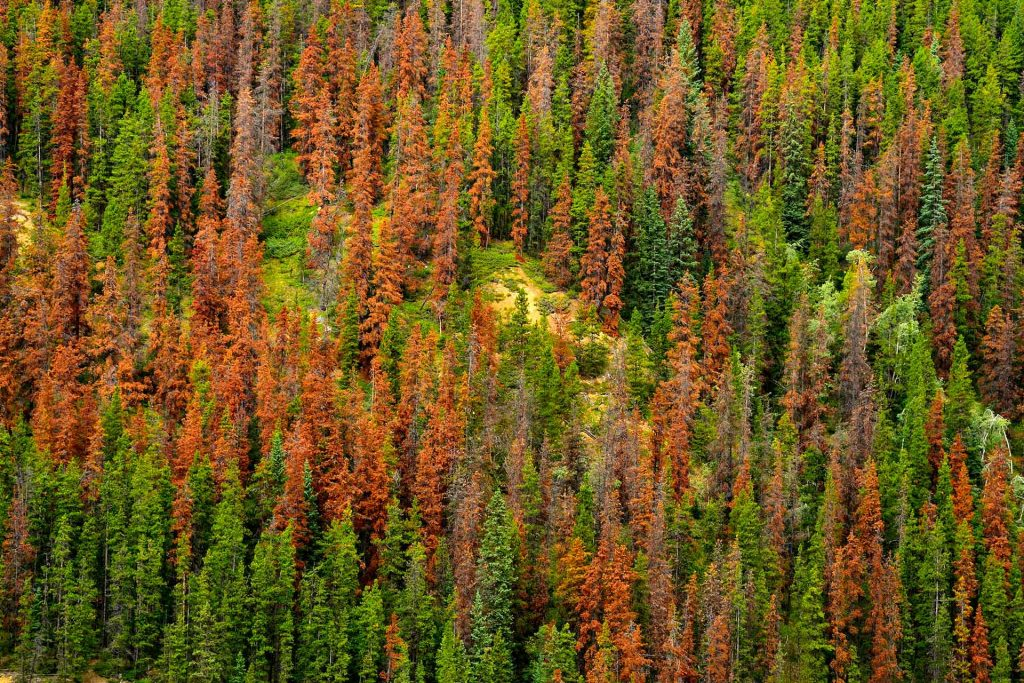 A stand of trees in the green, red and gray stages of mountain pine beetle mortality. (Alamy Stock Photo)